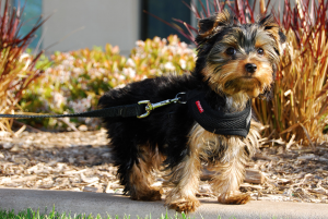 yorkie michelines pups