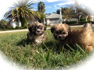 Maltese Shih Tzu Mal-Shi pups for sale florida