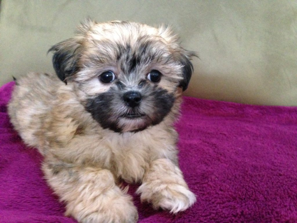 shih tzu mix for sale mal shi or maltese shih tzu hybrid micheline s pups 2725