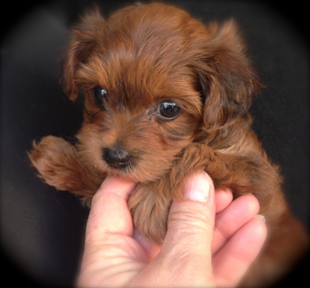 Adorable Norfolk/Yorkie X Poodle pups | March ...  |Yorkie Poodle
