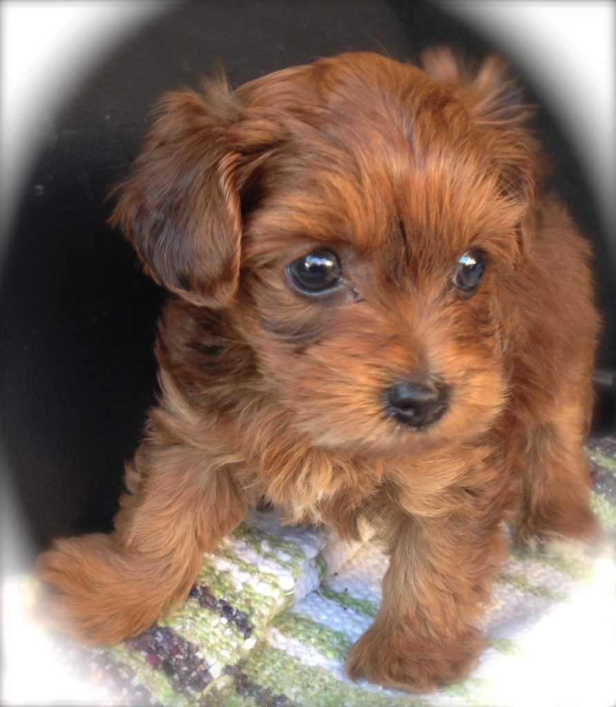 Adult yorkie poo picture