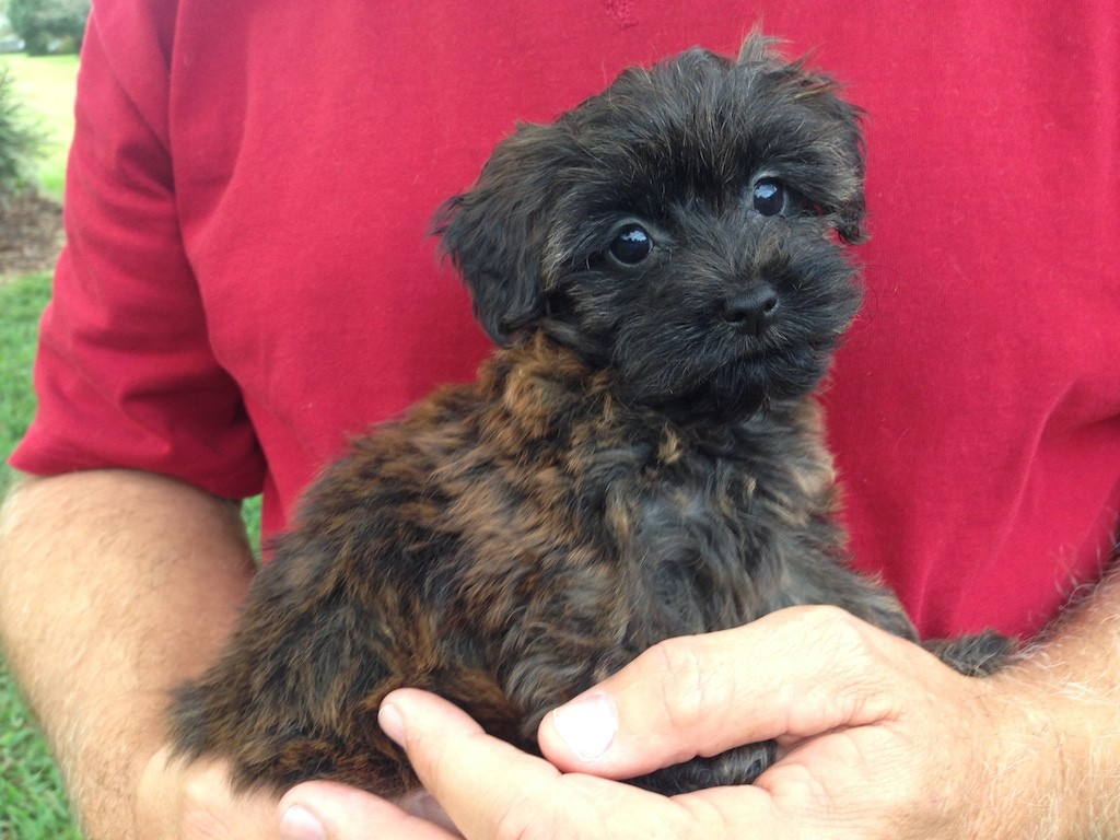 Gorgeous Chocolate Yorkie Poo pups for sale in Ocala Florida