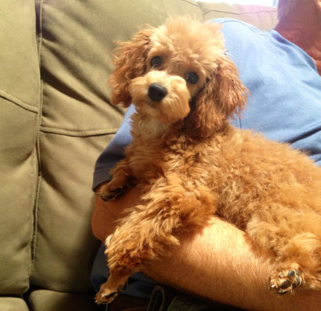 Red Toy Poodle Rudey For Sale In Ocala Florida Micheline S Pups