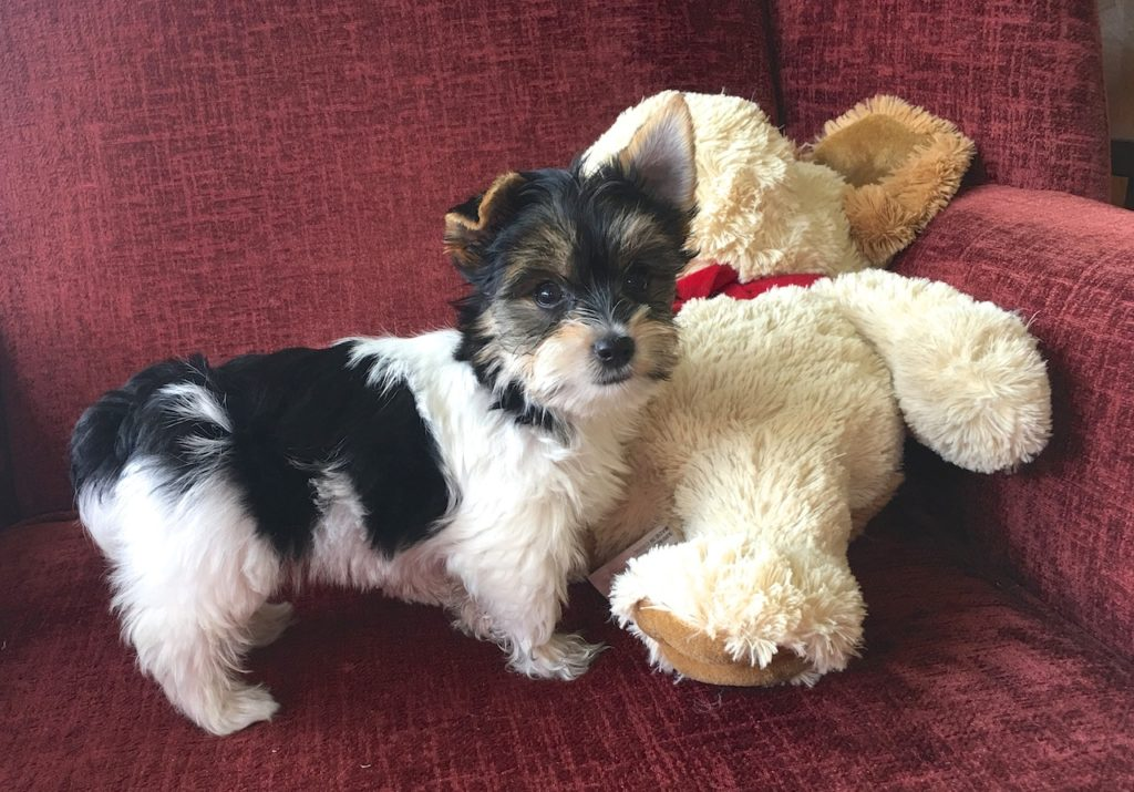 Tri colored Morkies or Maltese Yorkies pups for sale in