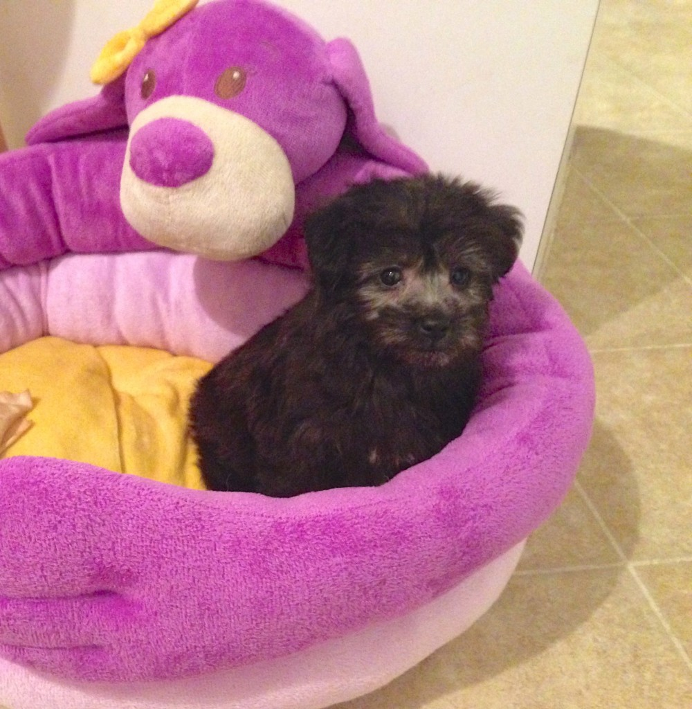 Yorkie-Poo pups for sale in Ocala Florida with Micheline's