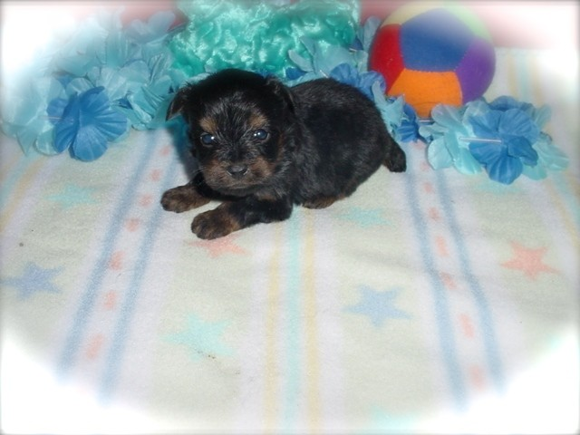 Yorkie Poo Puppies Jacksonville Fl - Puppy And Pets