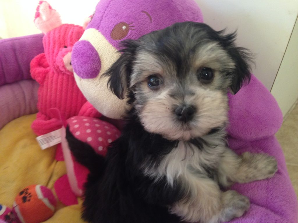 Yorkie Poodle Mix Sale Image Search Results Image Dog ...