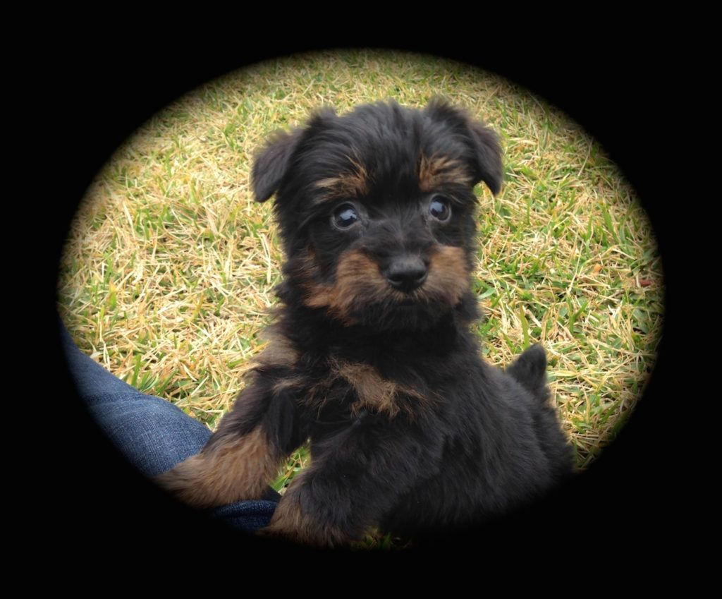 """Yorkie Poo Puppies for Sale in Ocala Florida - """"Daisy"""" - Micheline's ..."""