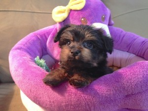 yorkie poo for sale ocala florida 12