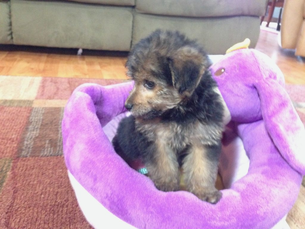 Yorkie Poo Pups For Sale In Florida Black And Tan Michelines Pups