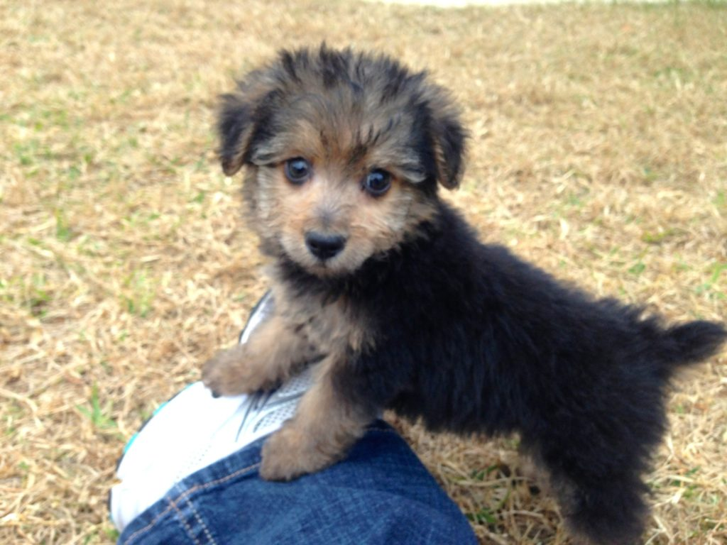 How To Train Yorkie Poo Puppies | HAIRSTYLE GALLERY