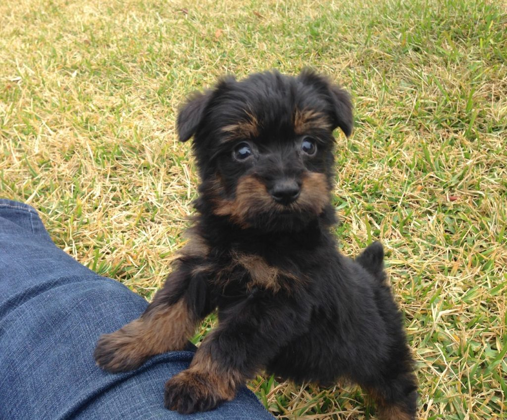 yorkie poo for sale in ga yorkie poo for sale ocala florida 7 micheline s pups 1360