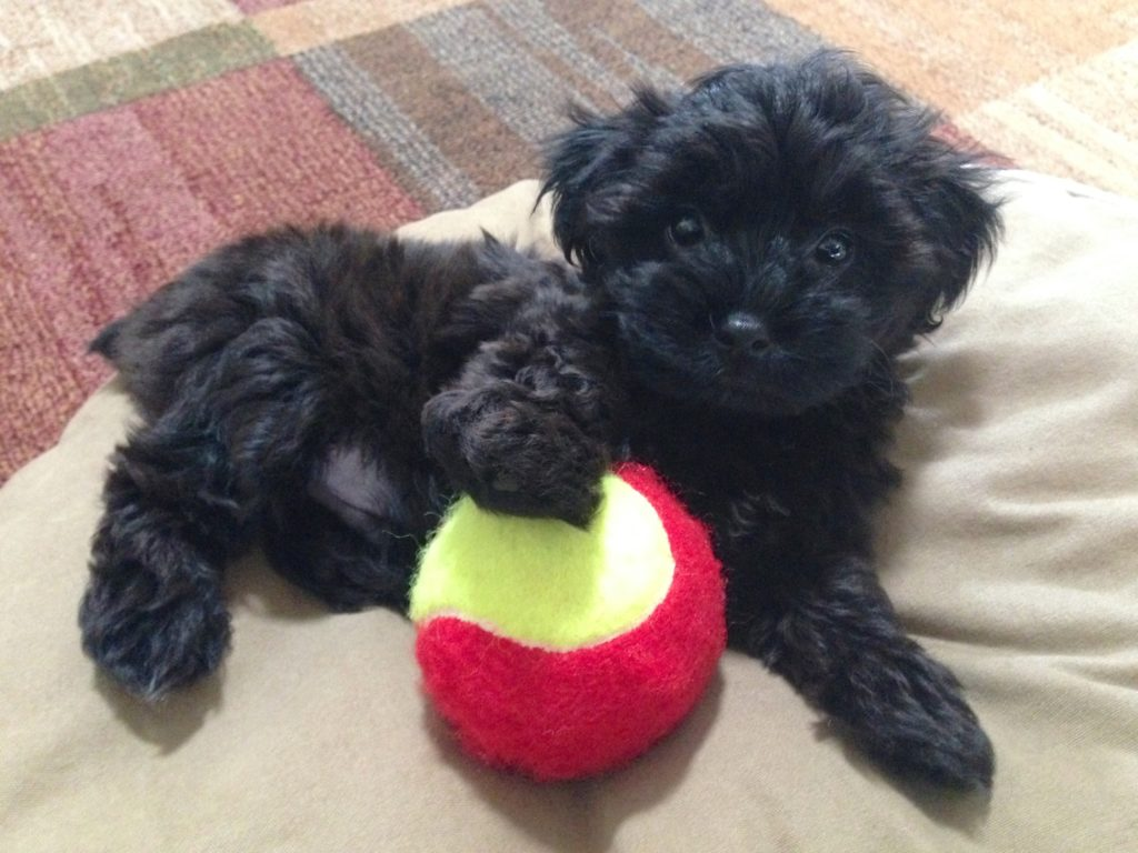 Yorkie Poo puppy for sale in Ocala Florida - Cody