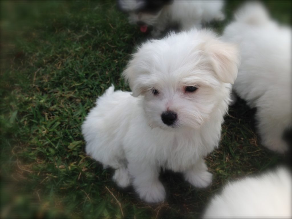 Maltipoo Or Maltese Poodle Mix For Sale In Ocala Florida