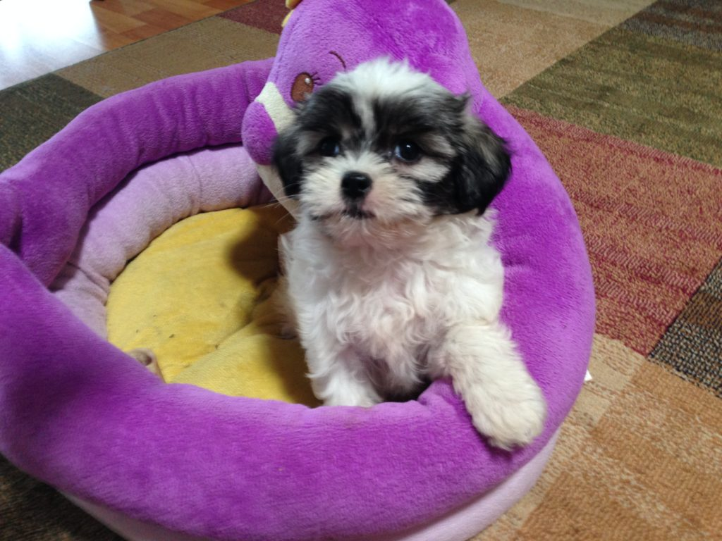u0026quot daisy u0026quot  the mal shi or maltese shih tzu mix for sale in ocala florida