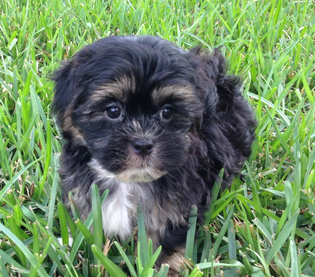 Mal Shi Or Maltese Shih Tzu Pup Shadow For Sale In Florida