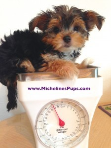 Morkie for sale florida michelines pups