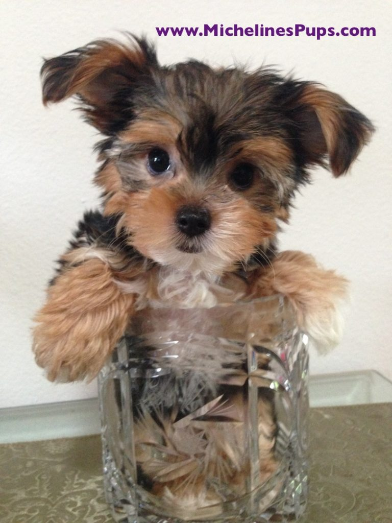 morkie for sale florida michelines pups 2