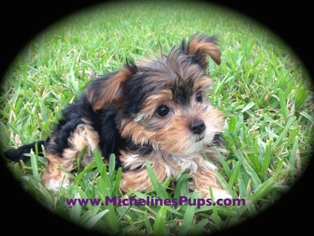 Morkie or Maltese Yorkie Mix Puppies For Sale in Florida