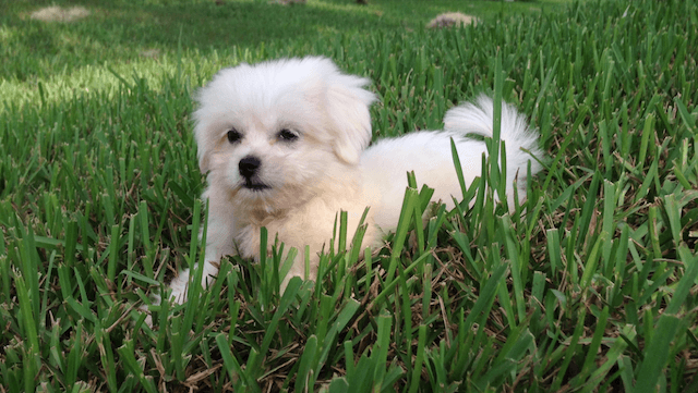 Beautiful White Maltese Shih Tzu Mix Mal Shi Pups For