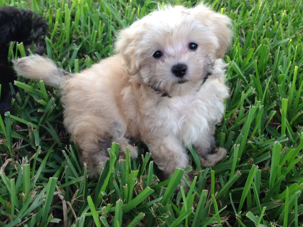 Maltipoo or Maltese Poodle Mix pups for sale in Florida