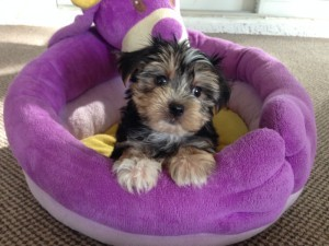 Morkie pups for sale florida michelines pups ocala