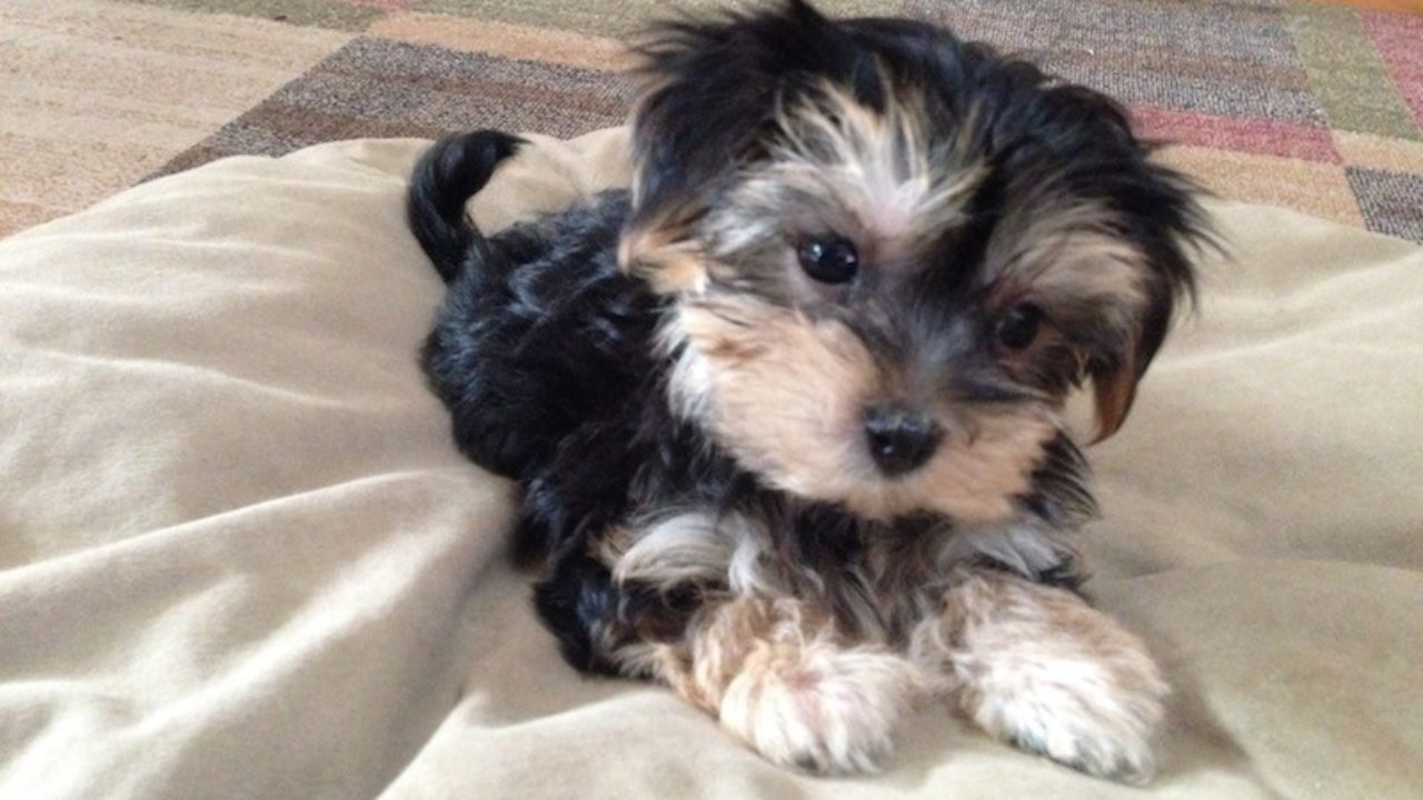 Beautiful Morkie Or Maltese Yorkie Mix Pups For Sale In Ocala Florida Little Abby Micheline S Pups