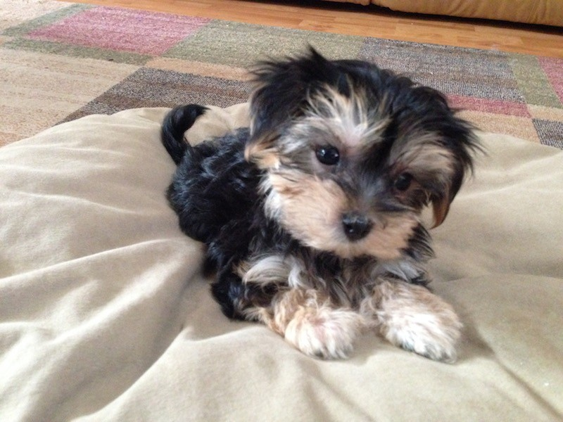 maltese yorkie mix price beautiful morkie or maltese yorkie mix pups for sale in 3031