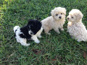 Maltipoo for sale Ocala Florida1