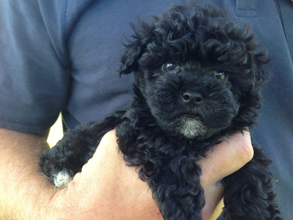 Adorable Black Maltipoo Pups For Sale In Ocala Florida Bear in addition Maltese additionally Chi Spaniel as well mymalteser together with Grey Yorkshire Terrier. on maltese for adoption