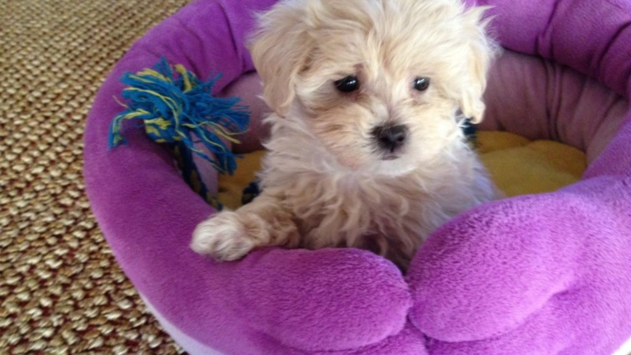 Maltipoo Maltese Poodle Mix Pups Michelines Pups