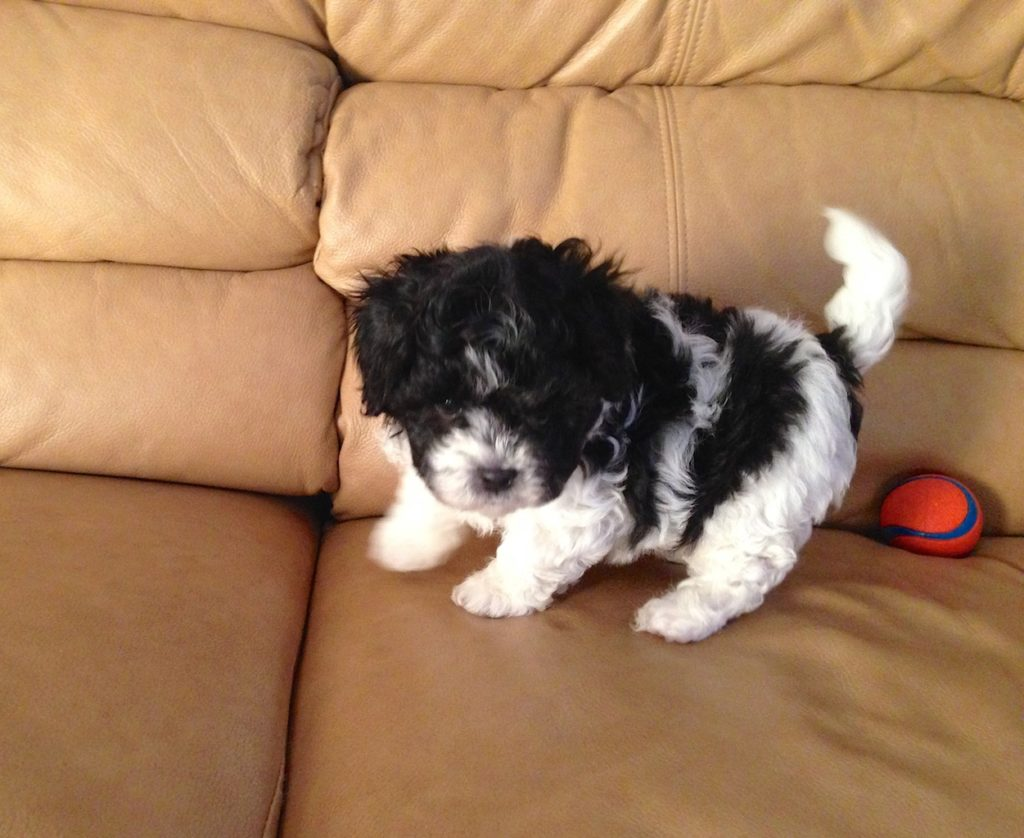 Gorgeous black and white Maltipoo pup for sale in Ocala ...