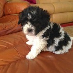 Maltipoo for sale Ocala Florida 4