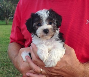 Maltipoo pups for sale florida michelines pups16