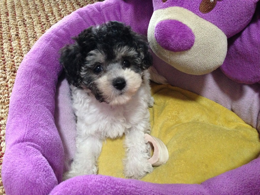 Black And White Maltipoo Pup For Sale In Ocala Florida