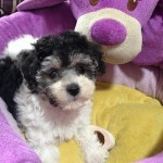 maltipoo pups for sale ocala florida michelines pups1