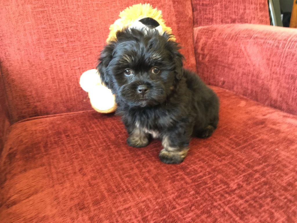 shih tzu yorkie poodle mix shih tzu poodle mix pups for sale in florida michelines pups3 4035