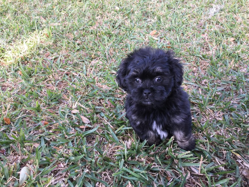 shih tzu mix for sale shih tzu poodle mix pups for sale in florida michelines pups5 4416