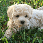 Maltipoo pups for sale in florida georgia michelines pups01