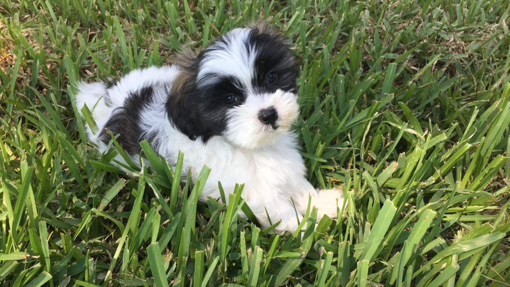 Male and Female Maltese Puppies For Sale We have Toy and Teacup sizes available They come with Two sets of shots and ACA Papers We are register