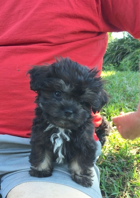 Shih Poo Pups In Florida Michelines Pups Michelines Pups