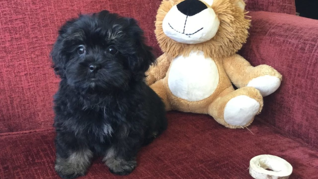 Shih Tzu Poodle Or Shihpoo Pups For Sale In Ocala Florida Annie Micheline S Pups