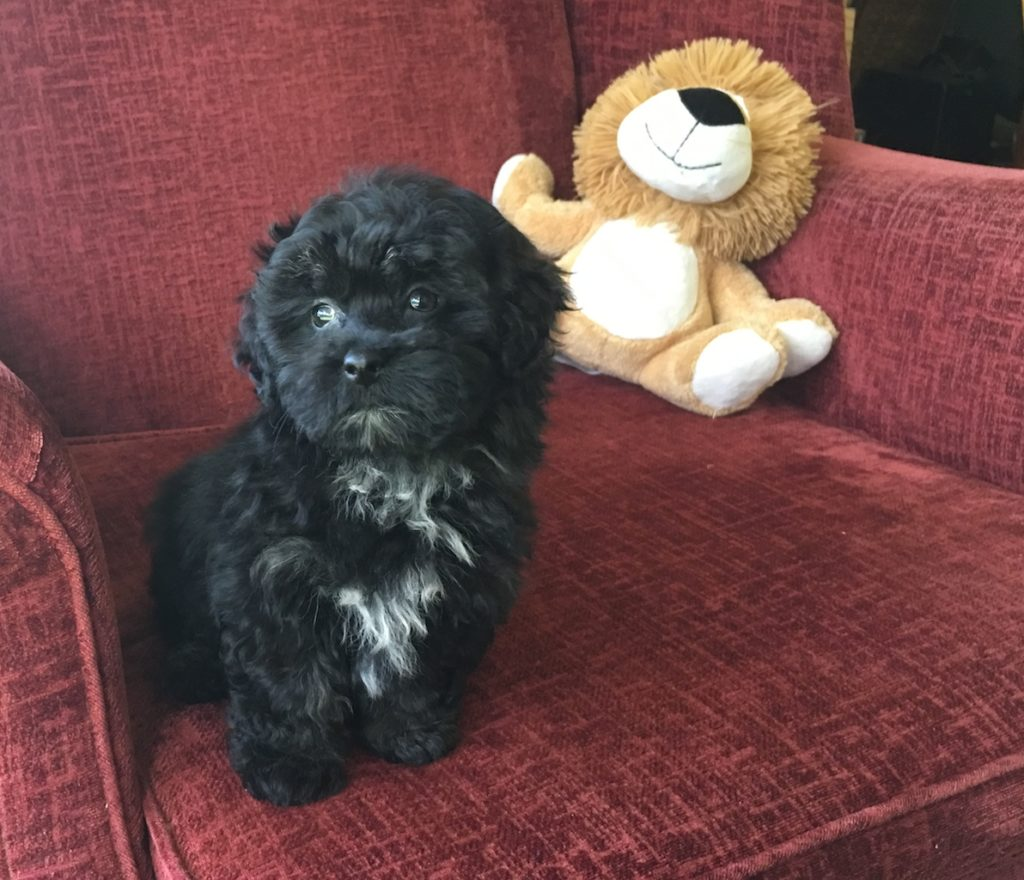 shihpoo or shih tzu poodle pup for sale in florida