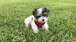 tri colored Morkie in Florida michelines pups