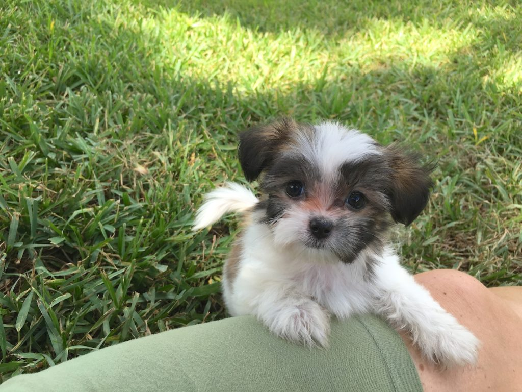 shih tzu puppies for sale in florida gorgeous tiny maltese shihtzu or malshi pups in ocala 1405