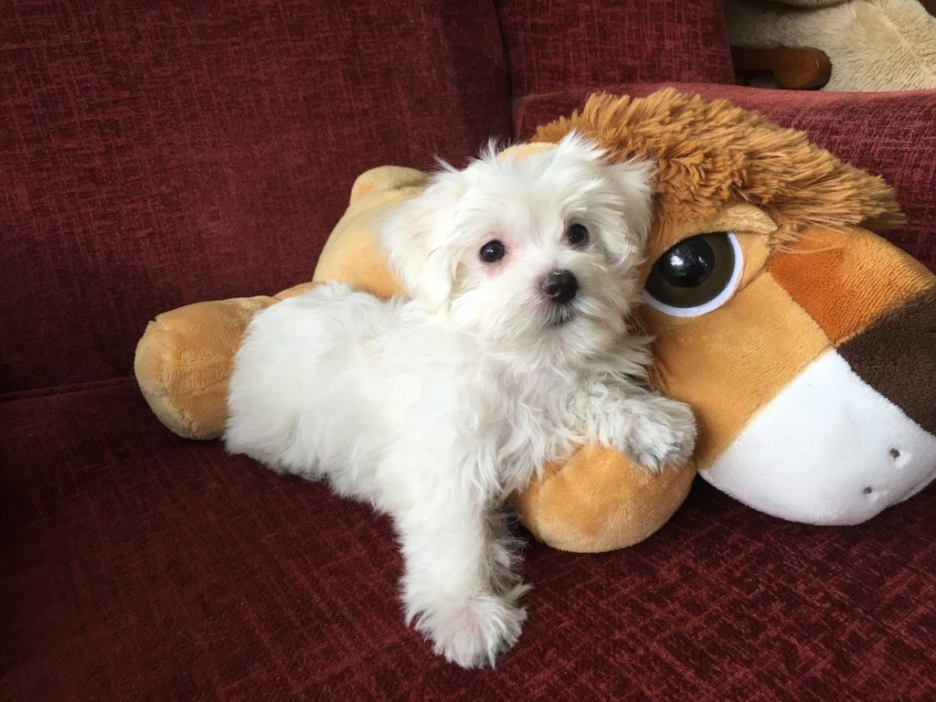 White Morkie Pups For Sale In Ocala Florida Susie Micheline S Pups
