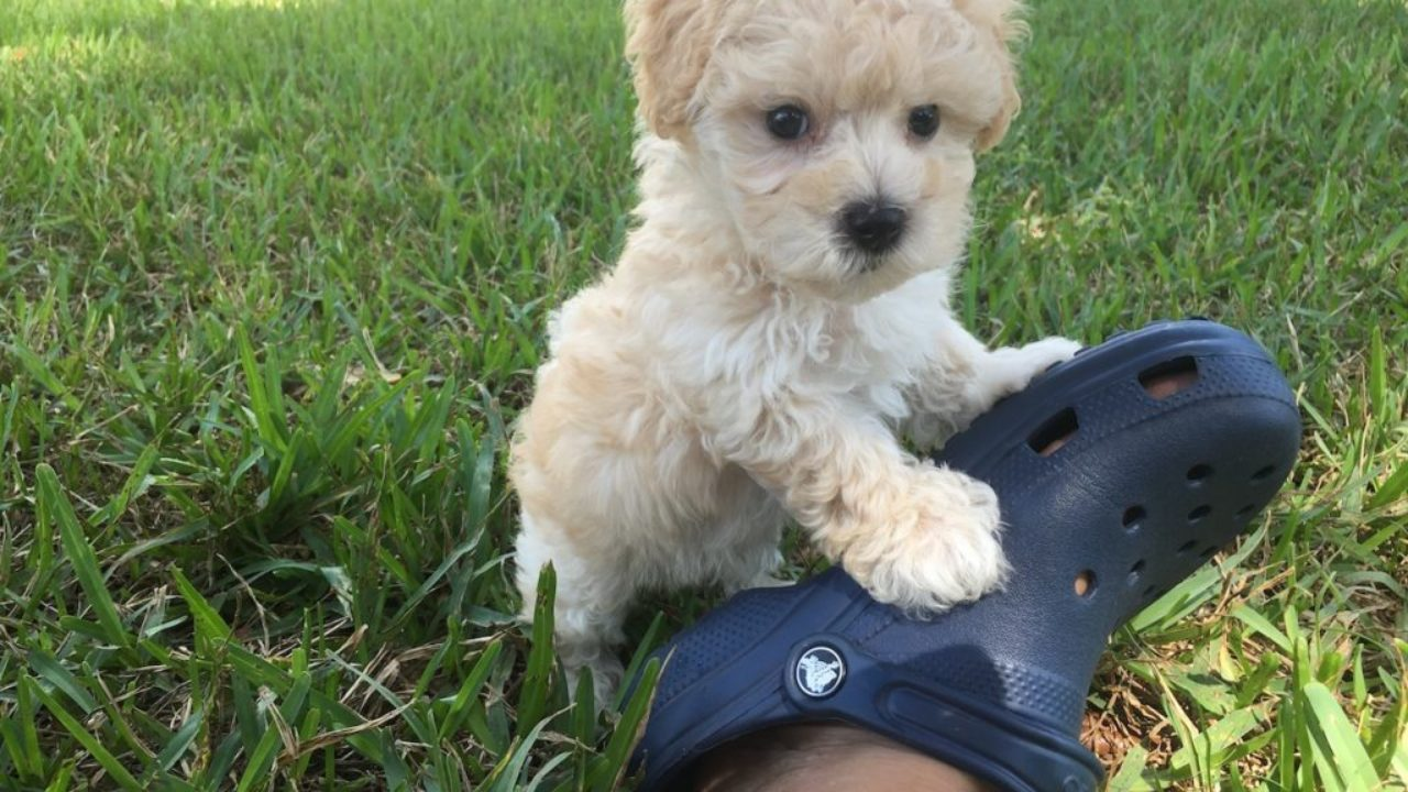 Gorgeous Apricot Maltipoo For Sale Joey Micheline S Pups
