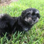 maltipoo-maltese-poodle-pups-for-sale-florida-michelines-pups1
