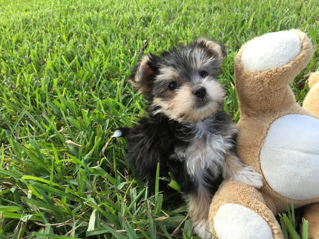 Morkie or a Maltese/Yorkie puppies for sale in Ocala Florida