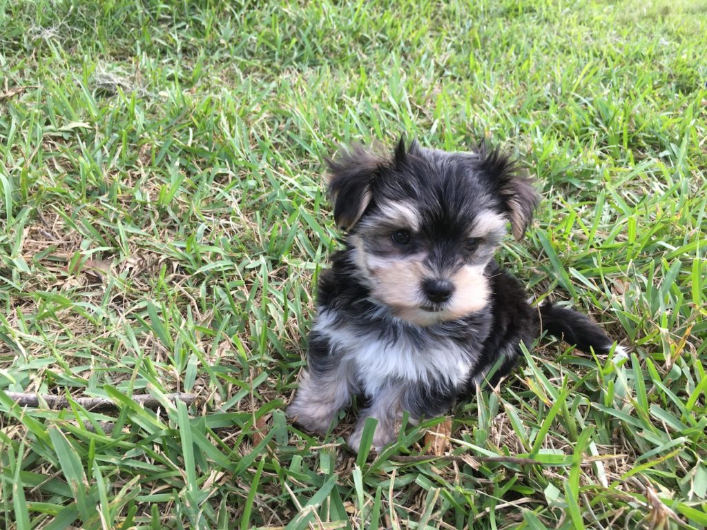 tiny-morkie-or-maltese-yorkie-pups-for-sale-florida ...